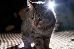 Piccolo gattino grigio immagine stock