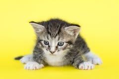 Piccolo gattino grigio Immagini Stock