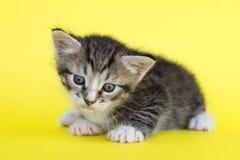 Piccolo gattino grigio Fotografie Stock