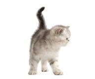 Piccolo gattino grigio Fotografia Stock