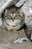 Piccolo gattino grigio che esamina la macchina fotografica, sedentesi sulla terra, alla campagna immagini stock libere da diritti