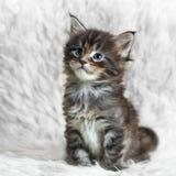 Piccolo gattino grigio del procione lavatore della Maine sulla pelliccia bianca del fondo Immagini Stock Libere da Diritti