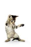 Piccolo gattino grigio sopra bianco Fotografia Stock Libera da Diritti