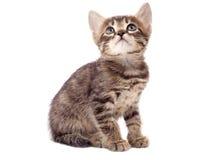 Piccolo gattino grigio, su bianco Fotografia Stock Libera da Diritti