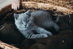 Piccolo gattino grigio in un cestino Immagini Stock