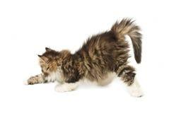 Piccolo gattino lanuginoso Immagine Stock Libera da Diritti