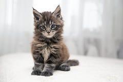 Piccolo gattino lanuginoso Maine Coon Fotografie Stock