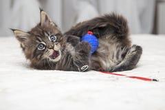 Piccolo gattino lanuginoso Maine Coon Fotografia Stock