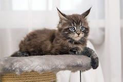 Piccolo gattino lanuginoso Maine Coon Immagine Stock