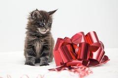 Piccolo gattino lanuginoso Maine Coon Fotografia Stock Libera da Diritti