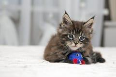 Piccolo gattino lanuginoso Maine Coon Immagine Stock Libera da Diritti