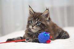 Piccolo gattino lanuginoso Maine Coon Immagini Stock