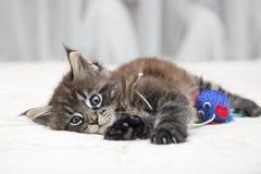 Piccolo gattino lanuginoso Maine Coon Immagini Stock Libere da Diritti