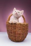 Piccolo gattino nel cestino fotografia stock libera da diritti