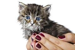 Piccolo gattino nelle mani umane Fotografia Stock
