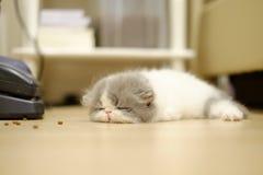 Piccolo gattino persiano di sonno nel fondo vago immagine stock libera da diritti