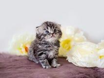 Piccolo gattino piegato del purosangue Fotografie Stock Libere da Diritti