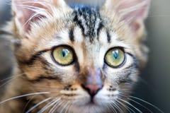Piccolo gattino a strisce con il primo piano degli occhi verdi Immagini Stock