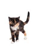 Piccolo gattino sul bianco Fotografia Stock Libera da Diritti