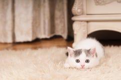 Piccolo gattino sveglio Fotografia Stock