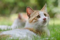 Piccolo gatto che si trova sull'erba Immagine Stock