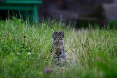 Piccolo gatto del cacciatore Fotografie Stock