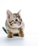 Piccolo gatto grigio Eys blu Fotografia Stock Libera da Diritti