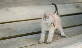 Piccolo gatto grigio, giocante nell'iarda, sui precedenti di legno, Fotografie Stock
