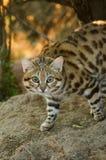 Piccolo gatto macchiato Immagini Stock Libere da Diritti