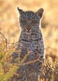 Piccolo gatto macchiato del leopardo cub Fotografie Stock Libere da Diritti