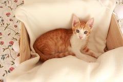 Piccolo gatto meraviglioso che posa davanti alla macchina fotografica per parecchi colpi piacevoli Immagini Stock