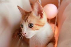 Piccolo gatto meraviglioso che posa davanti alla macchina fotografica per parecchi colpi piacevoli Fotografia Stock Libera da Diritti