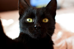 Piccolo gatto nero con gli occhi verdi che fanno selfie allo smartohone Fotografie Stock
