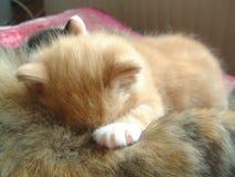 Piccolo gatto rosso che beve e che dorme Fotografie Stock Libere da Diritti