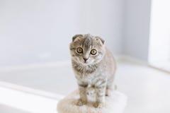 Piccolo gatto scozzese che si siede nella stanza Immagine Stock