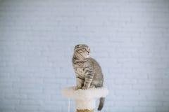 Piccolo gatto scozzese che si siede nella stanza Fotografia Stock Libera da Diritti