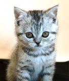Piccolo gatto scozzese grigio Immagine Stock Libera da Diritti