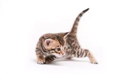Piccolo gatto su priorità bassa bianca Immagine Stock Libera da Diritti