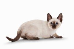 Piccolo gatto tailandese su fondo bianco Fotografia Stock