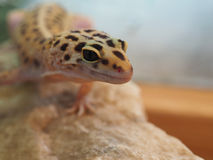 Piccolo geco del leopardo su una pietra Fine in su fotografia stock
