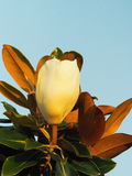 Piccolo Gem Magnolia Bloom fotografia stock libera da diritti