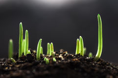 Piccolo germe di grano Fotografie Stock