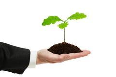 Piccolo germoglio della quercia nella mano dell'uomo d'affari. Fotografia Stock