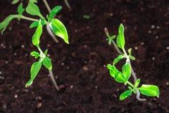 Piccolo germoglio verde la macrofotografia un pomodoro futuro è comparso dalla terra fotografia stock