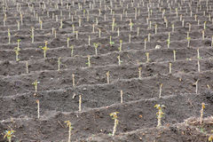 Piccolo giacimento della tapioca o della manioca Immagine Stock Libera da Diritti