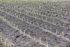 Piccolo giacimento della tapioca o della manioca Immagini Stock Libere da Diritti