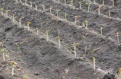 Piccolo giacimento della tapioca o della manioca Fotografie Stock