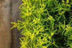Piccolo giardino a forma di stella di fioritura giallo P del Rockery dei fiori di sedum Fotografia Stock