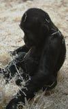 Piccolo gioco della gorilla con paglia Immagini Stock