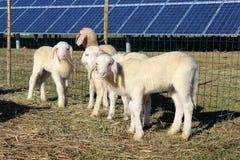 Piccolo gioco delle pecore fotografia stock